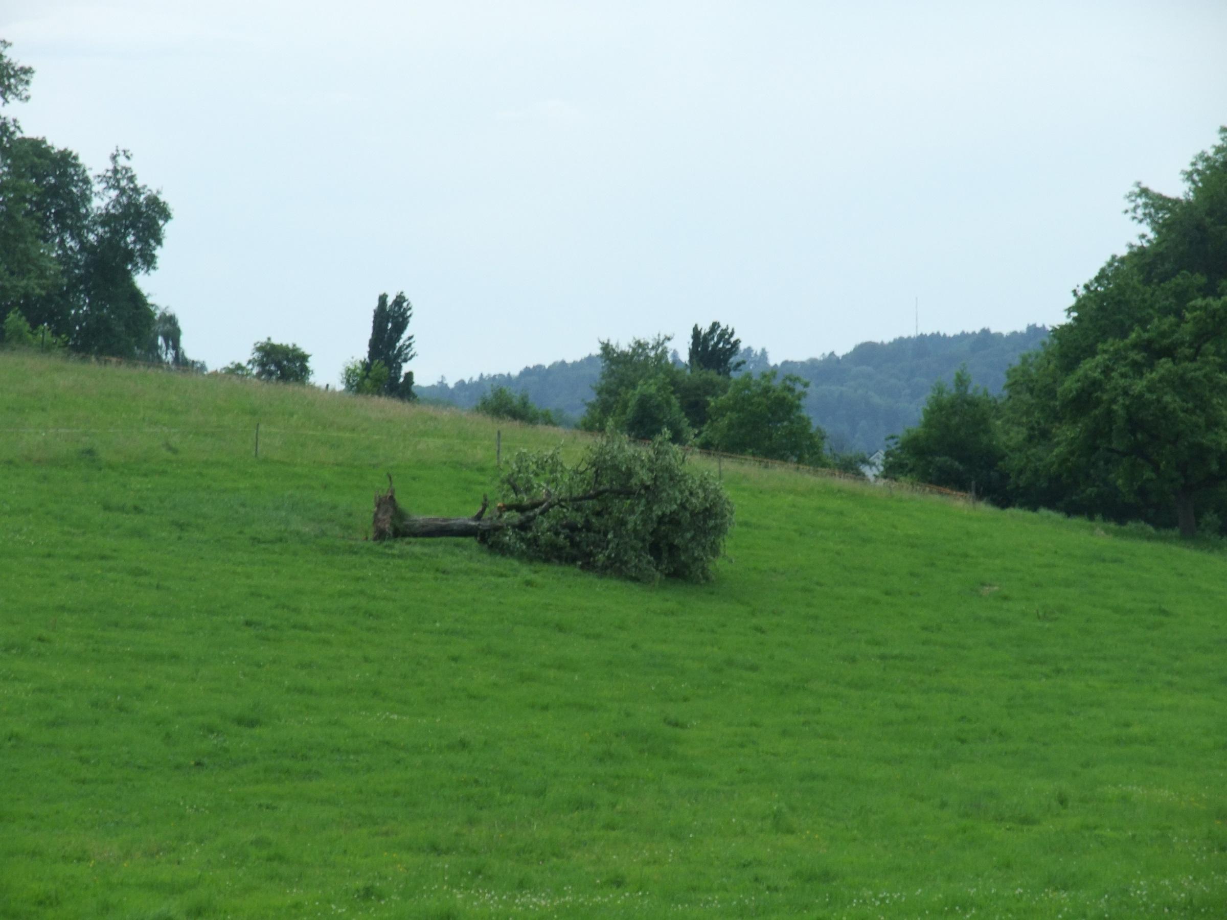 Umgestürzter Obstbaum