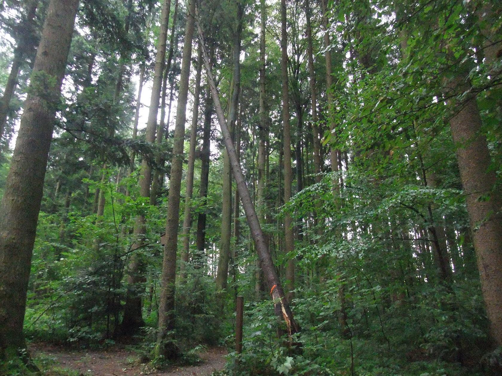 Gebrochener Baum im Guggeienwald